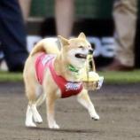 『独立リーグのBCリーグで活躍するベースボール犬のわさびちゃん、球宴始球式で見事なボール運び』の画像