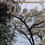 『3月25日 桜が満開です』の画像
