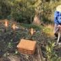 里芋を掘る。掘りたてを食らう。