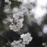 『桜色舞フ頃』の画像