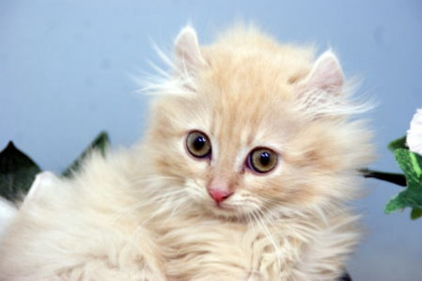 カール アメリカン アメリカンカールってどんな猫?性格や寿命、体重などの特徴、里親の迎え方などを紹介!