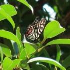 『美しい羽の害蝶アカボシゴマダラを庭で見る』の画像