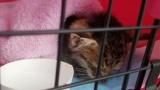子猫保護してから一ヶ月経つ(※画像あり)