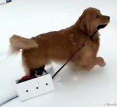 猫さん行くよ!雪上を走る犬ぞり、運ぶのは箱に入れた猫