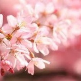 『お花見デートだって😆💕』の画像