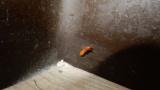 こんな虫見つけたんだけど、これってシロアリかな?(※画像あり)