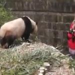 【動画】中国、幼女がパンダの飼育園に落ちる!迫り来るパンダ、幼女が危ない! [海外]
