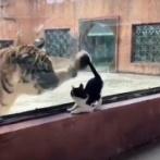 子猫とトラの間の超えられない壁?ある日動物園で1匹と1頭が出会ったのだが