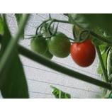 『色づくミニトマト!』の画像