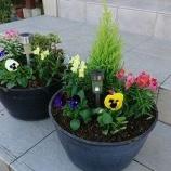 『【植栽・ガーデニング】管理が簡単な花で鉢植えを復活してみました。』の画像