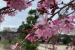 交野カインズの側の土手沿いの桜がとても綺麗!【写真提供:さこなさん】