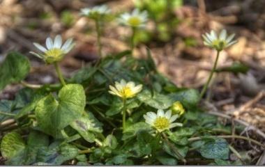『ヒメリュウキンカが咲き出しました』の画像