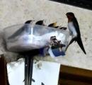 プラ容器の中でヒナ育つ。ツバメの巣が落ち代用
