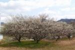 『交野高校横の梅がキレイに咲いてる!』って記事を書こうとしたらGoogle MAPにいろいろ不思議なモノが写ってた!~