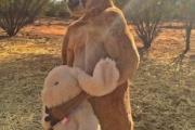 ウサギのぬいぐるみを死守する勇敢なカンガルー