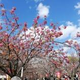 『「造幣局の桜の通り抜け」に行って参りました。』の画像