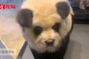 """【BBC】チャウチャウちゃう? 中国「パンダ」カフェの""""偽装""""が炎上"""