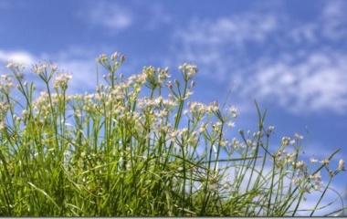 『白花イトラッキョウが見頃になりました。』の画像