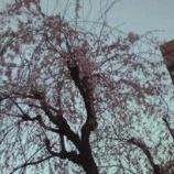 『戸田市商工会横の垂れ桜』の画像