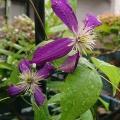 咲始めたクレマチス ミケリテ 気品ある色合いが淋しい庭を楽しませる