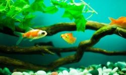 ワイ(7)「金魚飼うンゴ!」水道水トババババ