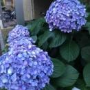 紫陽花と日常