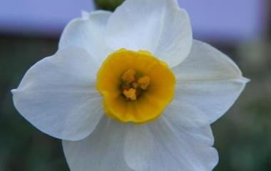 『水仙花』の画像
