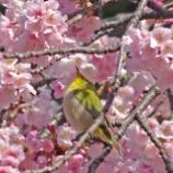『【写真】上野 春爛漫 早咲きの桜や メジロや猫。』の画像