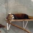 延期からの開催決定!静岡市は「レッサーパンダの聖地」?!『日本平動物園』で『国際レッサーパンダデーイベント』開催!10月19日〜11月21日。
