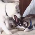 3匹の犬が「ソファ」でくつろいでいた。1匹が移動する。何をするの? → こうします…