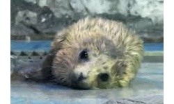 赤ちゃんアザラシデビュー こどもの日に水族館で誕生