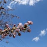 『大石田ならできます!!2回目の花見』の画像