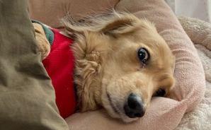 在宅勤務中の飼い主を監視する犬