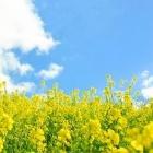 『菜の花のごま和えとコメントについて』の画像