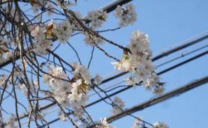 寝屋川市北東部の桜は「咲き始めの段階」