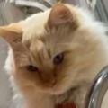 ネコの目の前で飼い主が蛇口の水を飲んだ。と思ったら口から吐き出した。ぺ~ → ファッ!?