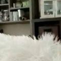 【子ネコ】 白いモフモフの上で手を広げてみた。いでよ、萌え獣! → こうなる…