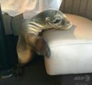 【画像】 すやすや眠る赤ちゃんアシカ、海辺のレストラン座席で発見 米