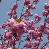 『山桜が満開です!』の画像