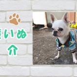 『【動画】保護犬紹介 チワワのマフィンくん♂ 推定8歳 Chihuahua』の画像