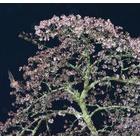 『桜に舞う』の画像