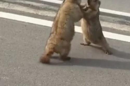 【動画】リスが路上で大喧嘩。交通トラブルか!?!?!?!?!?のサムネイル画像