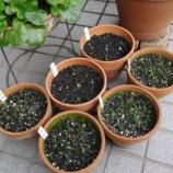 『ムスカリの球根の植え付け & クリスマスローズと球根植物』の画像