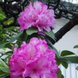 『5月中旬の近隣の石楠花』の画像