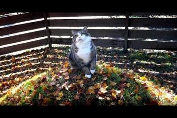 """紅葉の庭で世界一有名な猫""""まる""""が優雅に遊ぶ"""