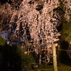 専称寺のしだれ【2015】