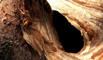 【蜂の子注意】蛾だけどスズメバチ採りに行ってみた