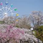 『お花見2018☆はままつフラワーパーク~桜編』の画像