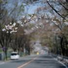 『KAMLAN50mmF1.1による春の風景~散りかけの桜 2020/04/28』の画像