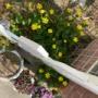 *フィレオフィラの青い花と植えた覚えのない花たち